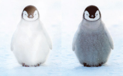 Making a penguin white using blending modes