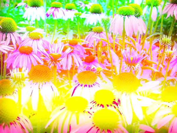 On this picture, I applied red(resulted in green), green(resulted in red), and blue(resulted in yellow), on the flowers picture using the divide blend mode