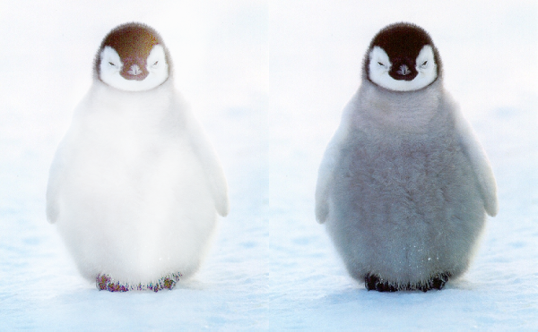 White-Penguin