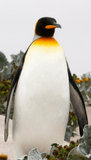 The penguin we wanted, fit as a fiddle~
