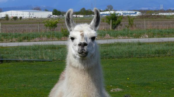 Cropped-Llama