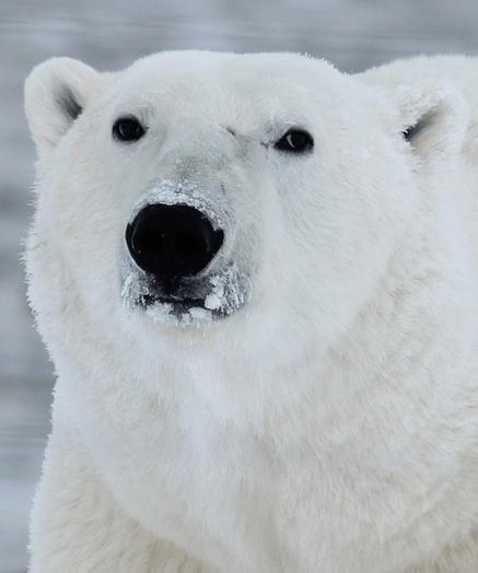 Polar-Bear-Avvy-3