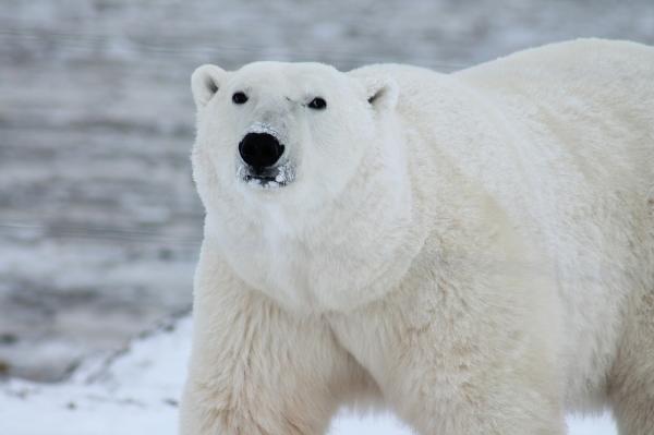 Polar-Bear-Avvy